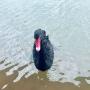 仙鹤湖:新版丑小鸭